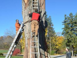22-Strapping-the-stump-270x203.jpg